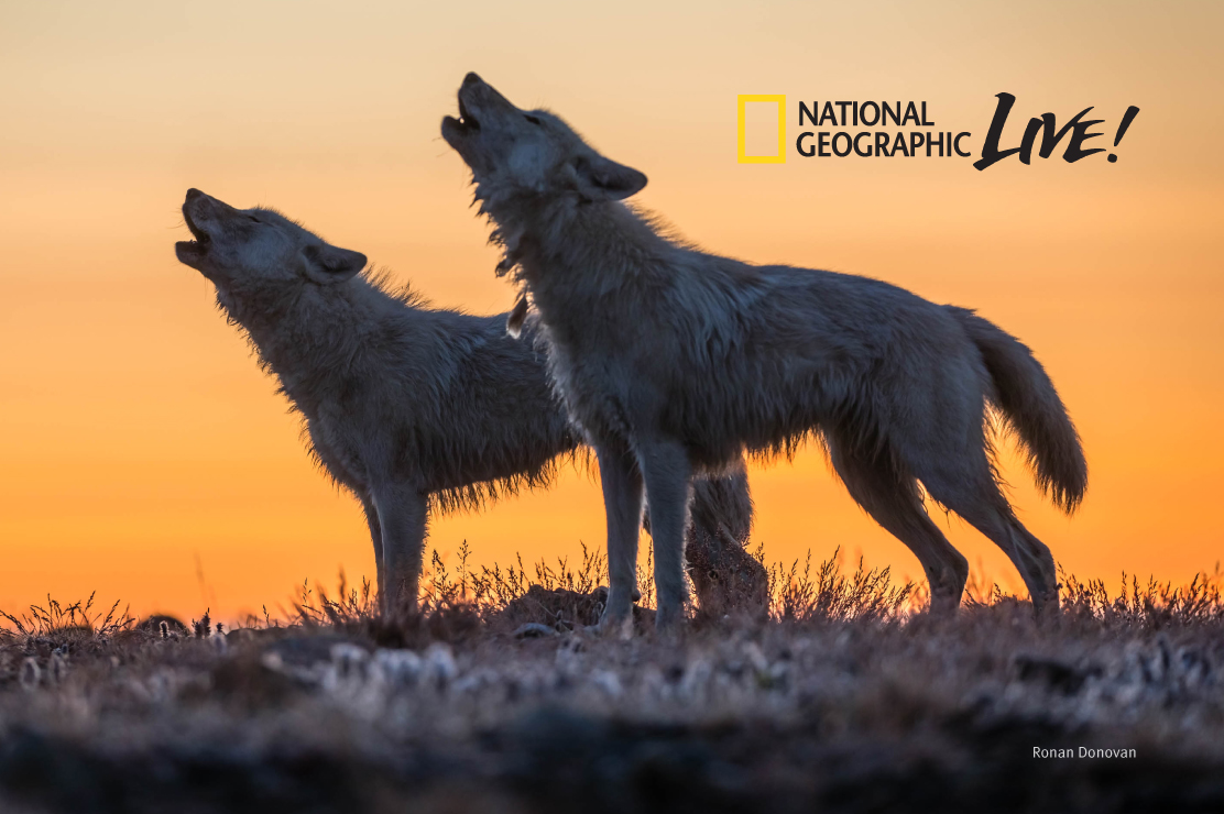 A National Geographic Live photograph of wolves howling at sunset.